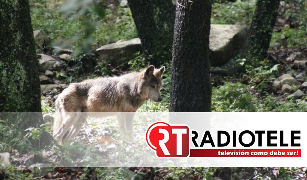 Buscan con drones y perros a un lobo que escapó en el Edomex